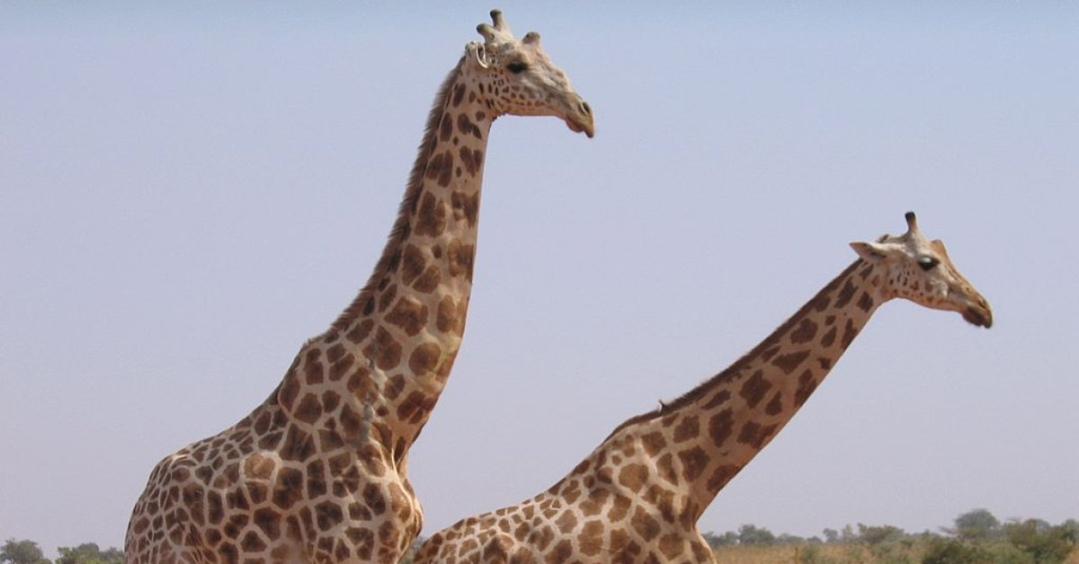 6 French Aid Workers and 2 Guides Killed by Gunmen at Giraffe Park in Niger